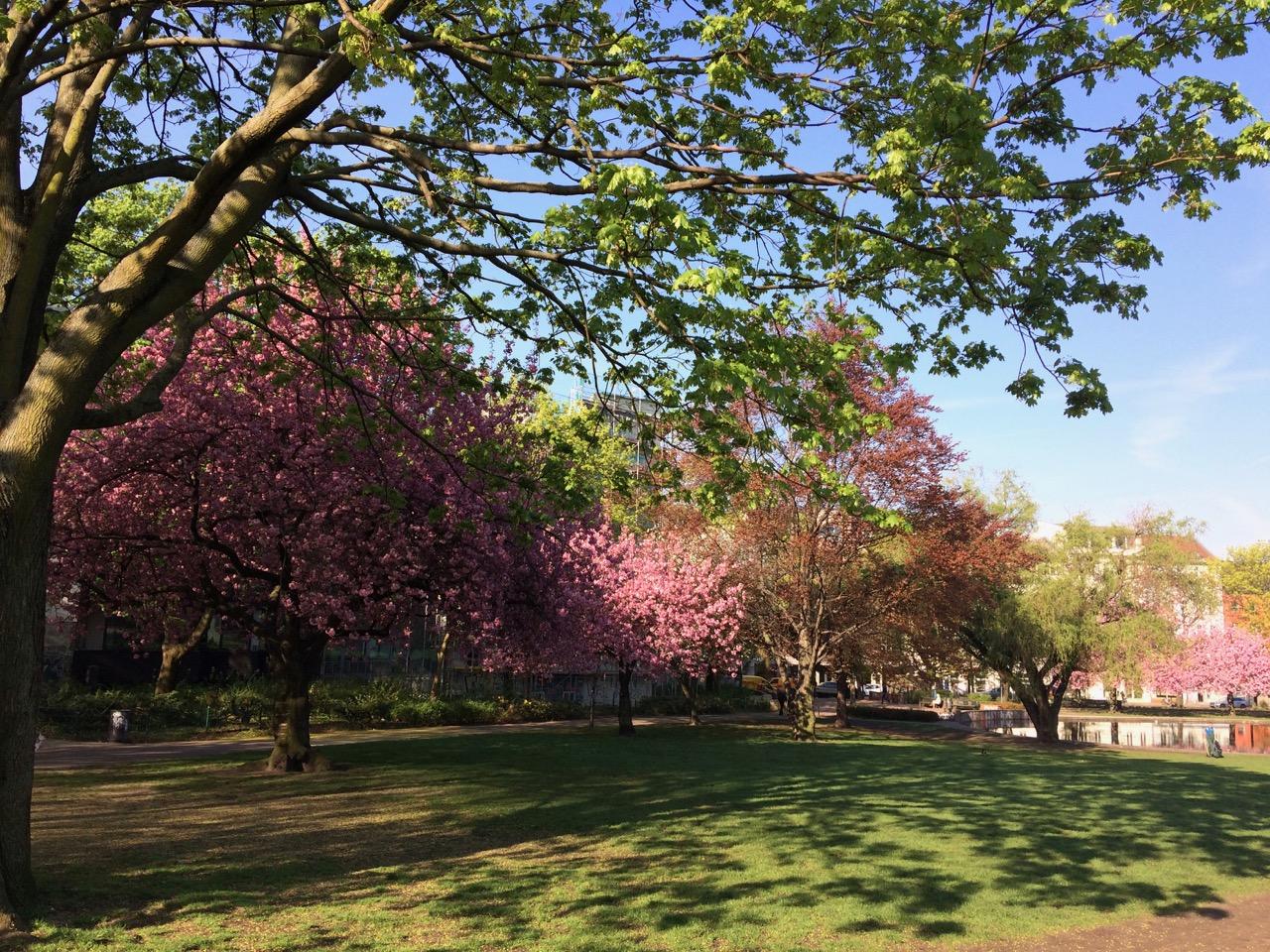 Sakura im Sommer / 夏の桜