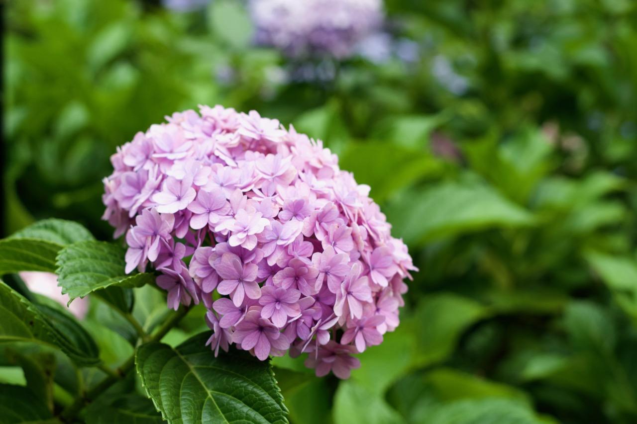 Hortensie am Nagaipark / 長居公園の紫陽花